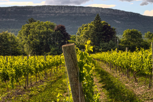 late afternoon vineyard and post